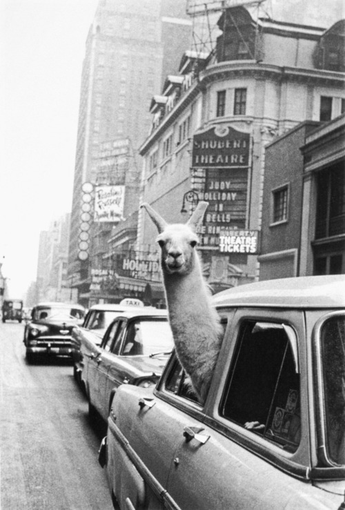 Inge Morath - A Lama In Time Square NYC (1957)